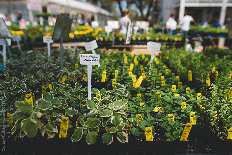 Oregano at the nursery  by Courtney Rust for Stocksy United