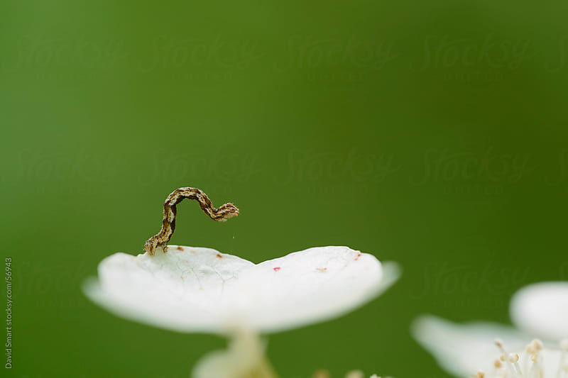 A tiny inchworm moves along the edge of a white flower by David Smart for Stocksy United