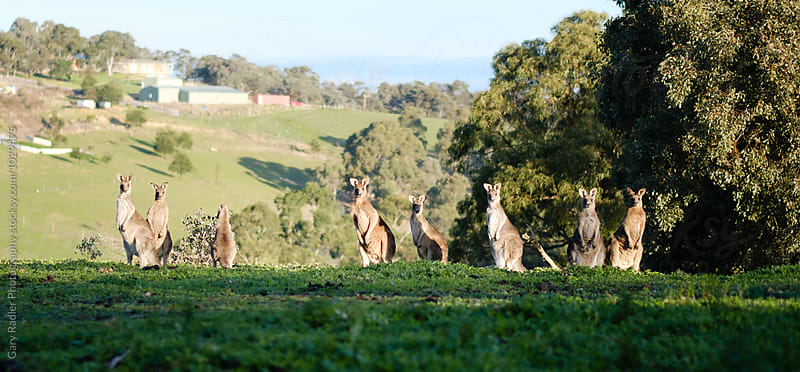 Mob of Kangaroos Looking at Camera by Gary Radler Photography for Stocksy United