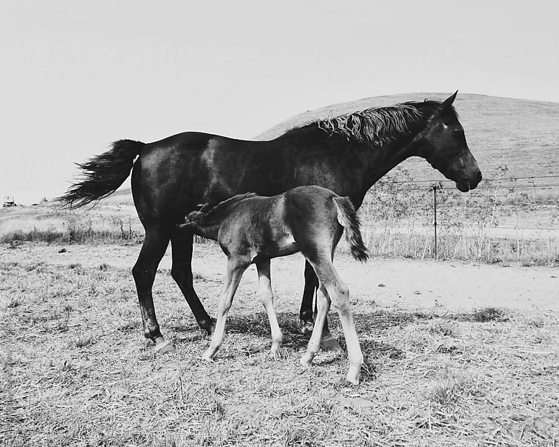 Mother Horse Nursing Her Foal by Kevin Gilgan for Stocksy United
