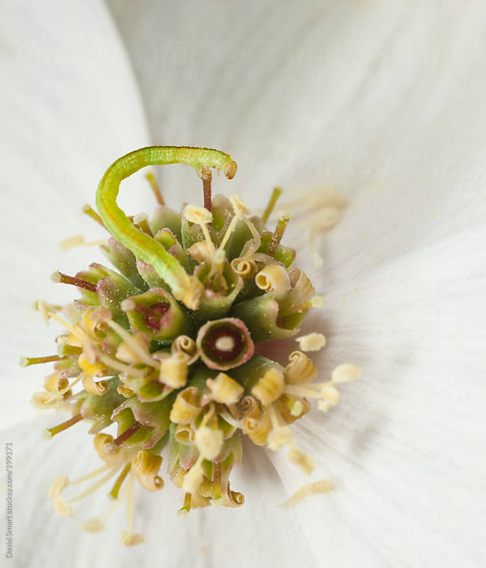 A tiny inchworm on a dogwood flower by David Smart for Stocksy United