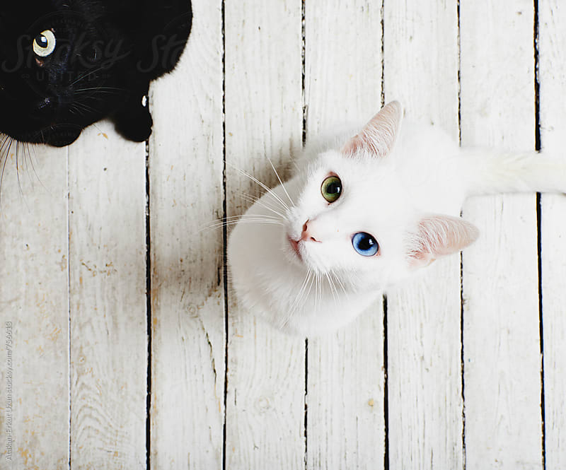 white and black cat waiting for food by Atakan-Erkut Uzun for Stocksy United