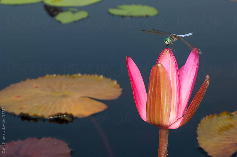 A Blue Dasher dragonfly perched on a waterlily bud by David Smart for Stocksy United