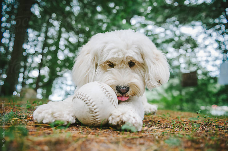 Poodle mix dog playing with baseball by Jen Grantham for Stocksy United