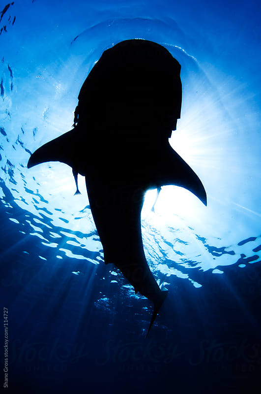 Whale Shark Silhouette  by Shane Gross for Stocksy United
