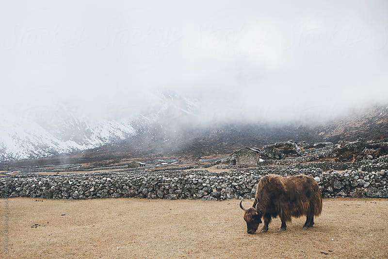 A yak grazing high up in the himalayas, Everest Region, Nepal. by Shikhar Bhattarai for Stocksy United