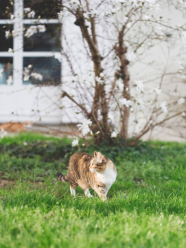 Tabby cat stands half in the sun and half in the shadow in garden in spring by Laura Stolfi for Stocksy United
