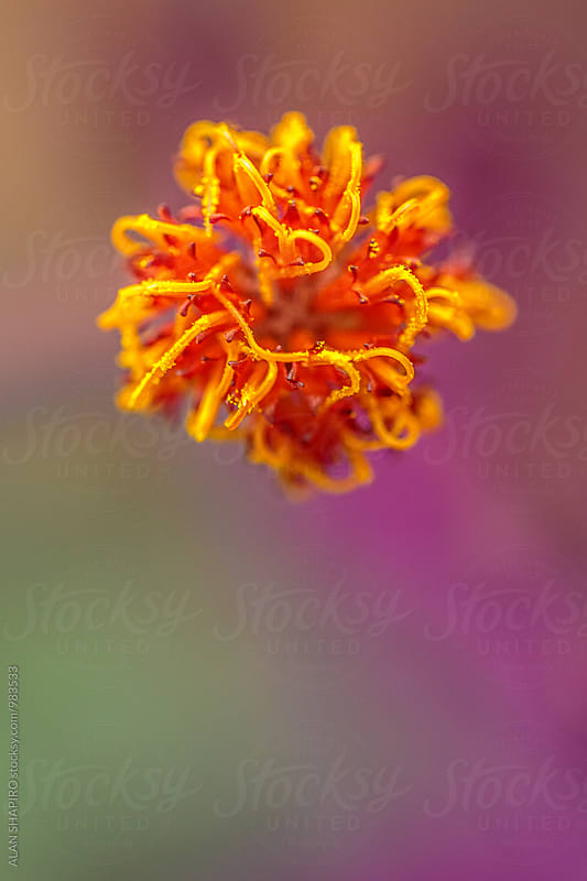 Gynura Aurantiaca by alan shapiro for Stocksy United