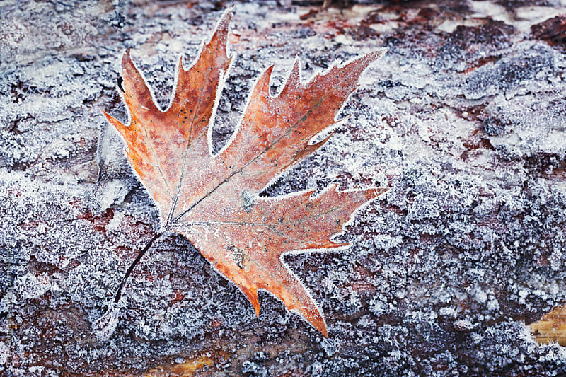 Frosted Leaf on Tree Bark by Helen Sotiriadis for Stocksy United