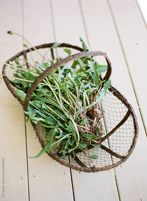 Clump of dandelions in basket by Ali Harper for Stocksy United