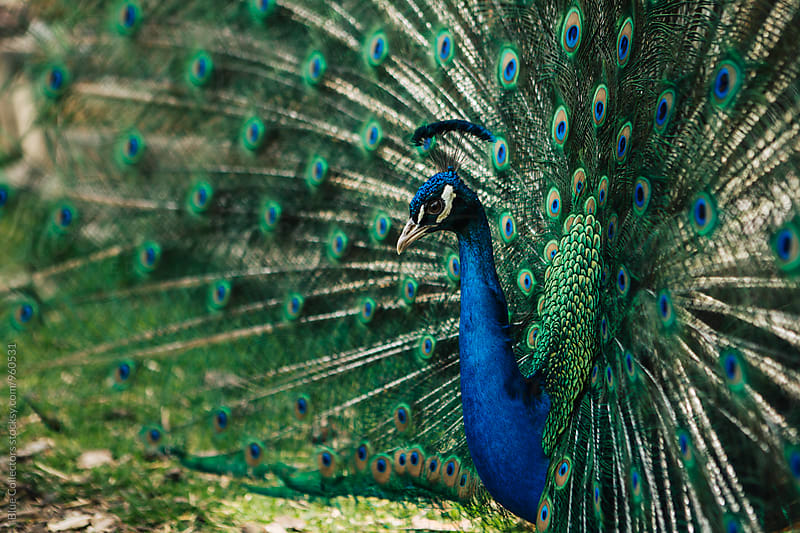 Peacock Closeup with Feathers Open by Jordi Rulló for Stocksy United