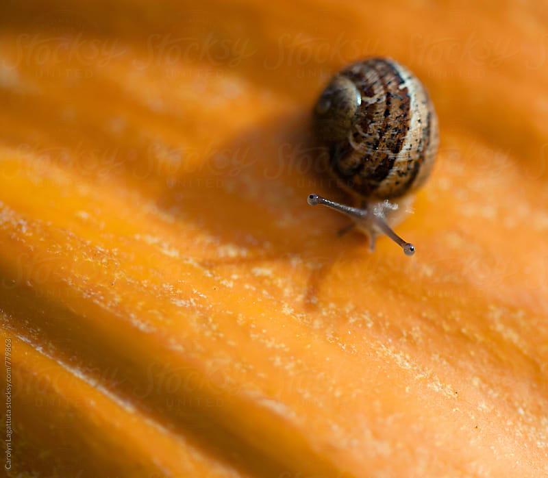 Tiny snail on an orange pumpkin by Carolyn Lagattuta for Stocksy United
