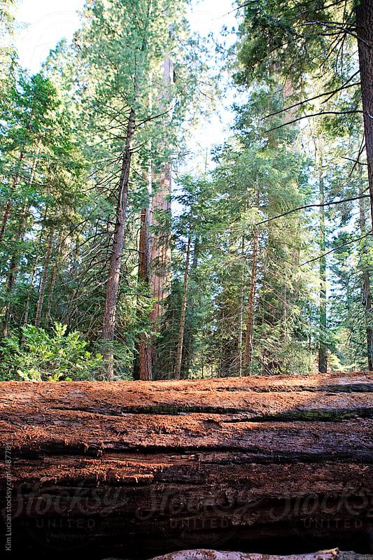 Fallen Redwood Tree by Kim Lucian for Stocksy United