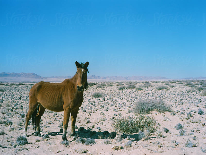 Namibian Wild Desert Horse by Micky Wiswedel for Stocksy United
