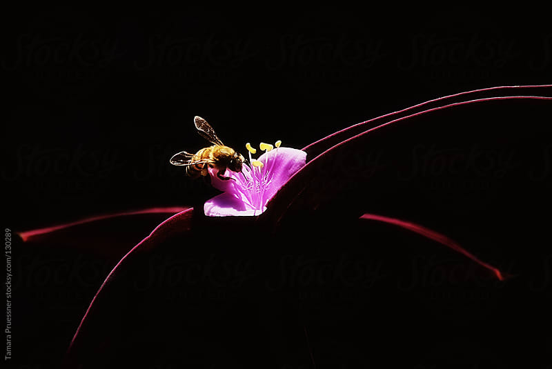 Bee On Tradescantia Pallida Plant by Tamara Pruessner for Stocksy United