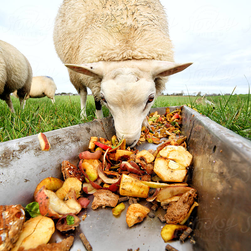 Sheep eating leftovers from a trough by Marcel for Stocksy United