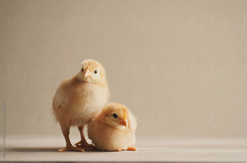 Baby Chicks by Melanie DeFazio for Stocksy United