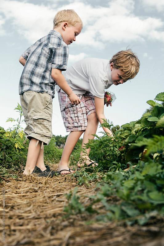 Kids Picking Strawberries by Stephen Morris for Stocksy United