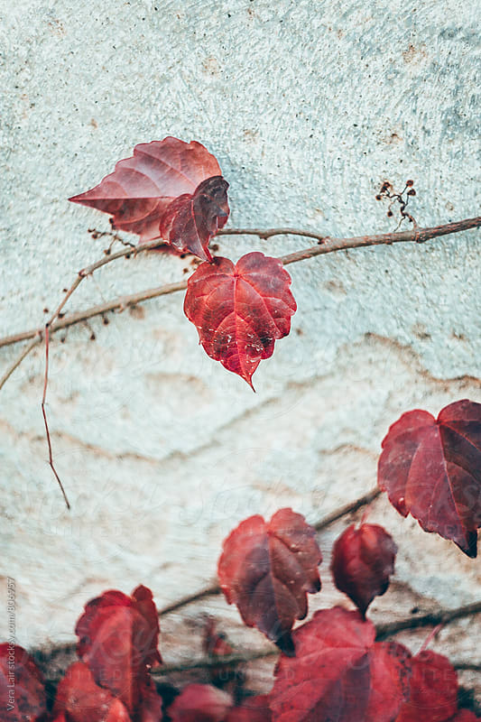 Virginia creeper by Vera Lair for Stocksy United