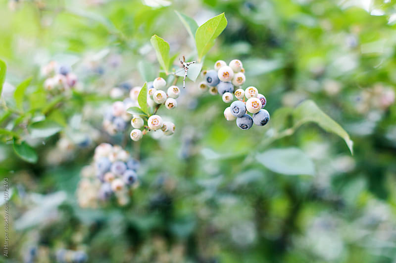 Blueberry Bush by Ali Harper for Stocksy United