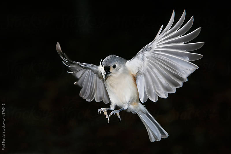 Tufted Titmouse by Paul Tessier for Stocksy United