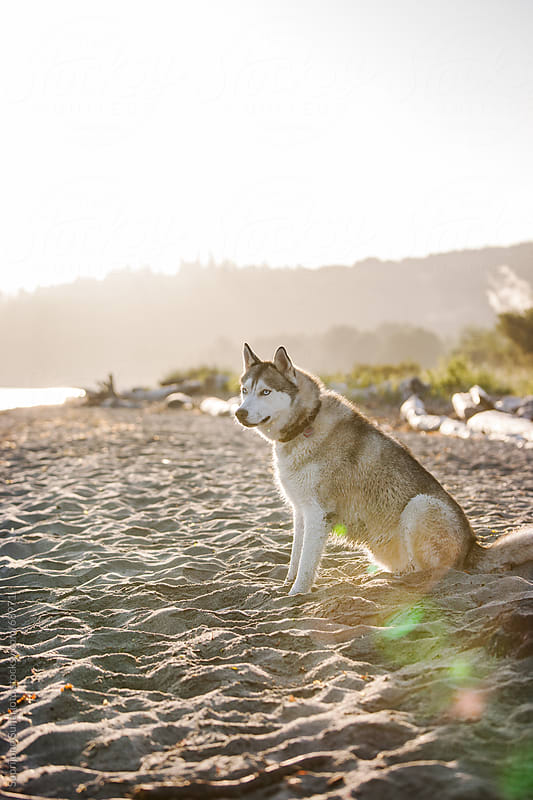 Siberian Husky dog on the beach by Suprijono Suharjoto for Stocksy United