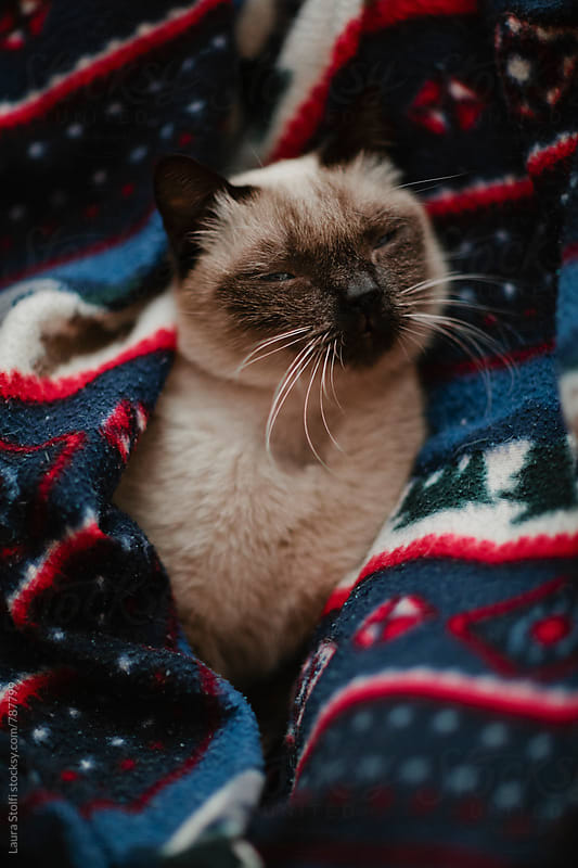 Close up of siamese cat napping under woolen blanket by Laura Stolfi for Stocksy United