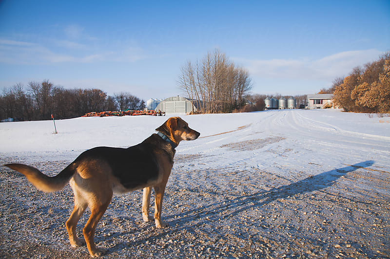 A dog stands in a rural farm covered with snow. by Cherish Bryck for Stocksy United