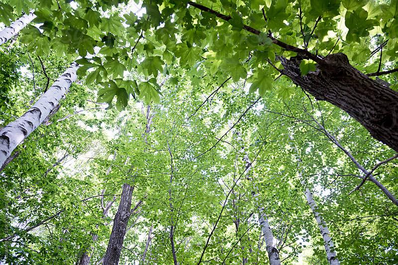 Green tree in summer forest by Lawren Lu for Stocksy United