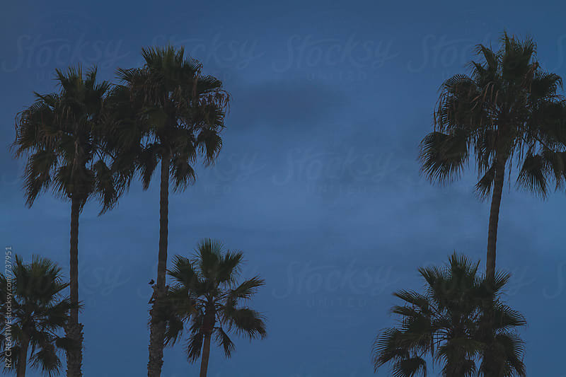 Palm trees against a blue sky. by Robert Zaleski for Stocksy United