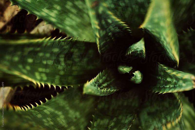 Close Up of Aloe Vera by Tamara Pruessner for Stocksy United