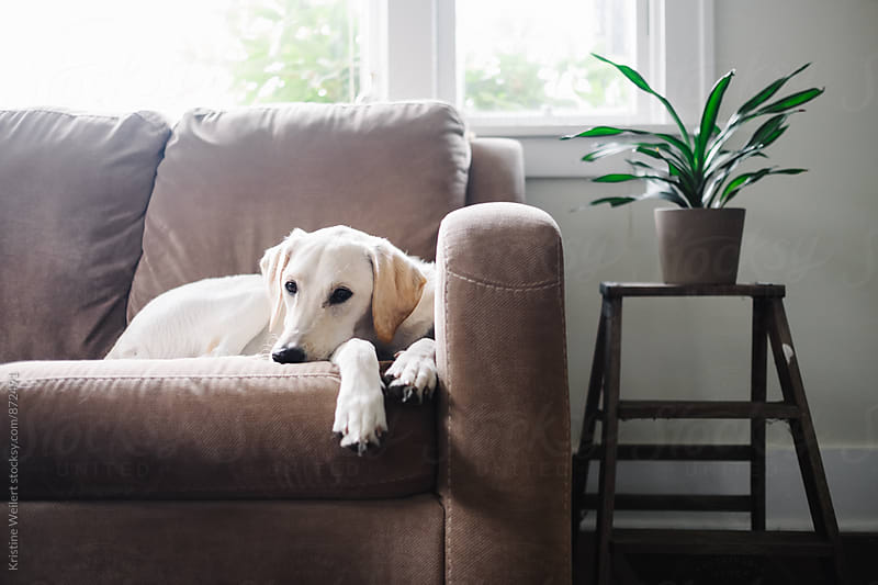 White dog laying on couch by Kristine Weilert for Stocksy United