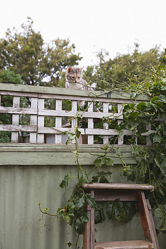 A young cat climbing suburban fence in the backyard garden by Natalie JEFFCOTT for Stocksy United