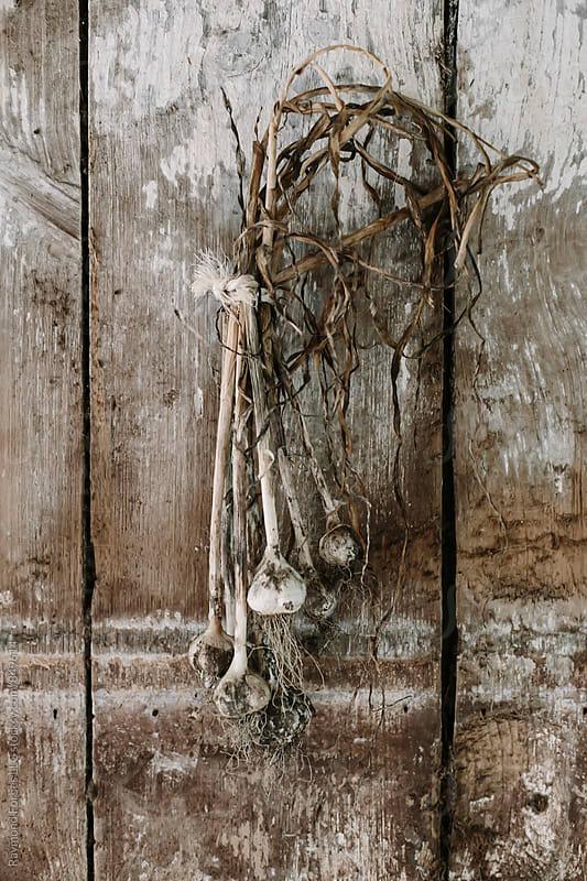 Garlic Harvest Drying in Barn by Raymond Forbes LLC for Stocksy United