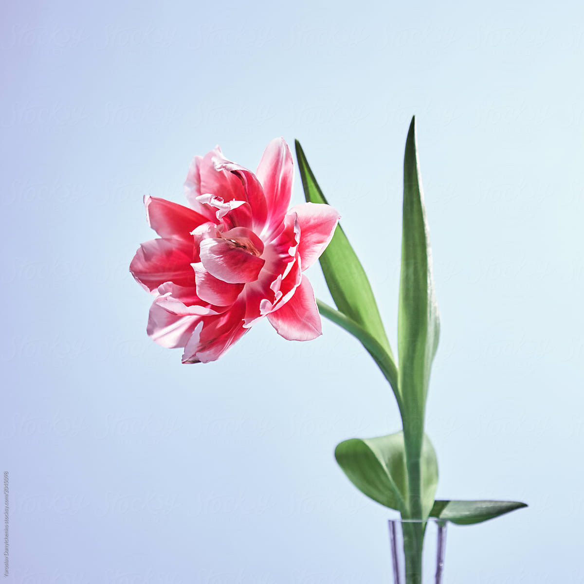 Flowering Single Terry Tulip Flower Pink With Green Leaves In Gl