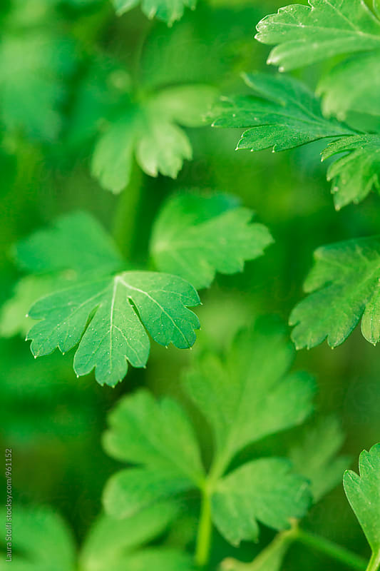 Close up of fresh organic parsley growing in vegetable garden by Laura Stolfi for Stocksy United