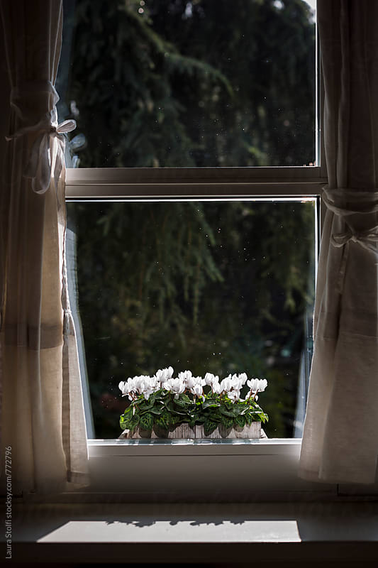 Cyclamen flowerpot on sunny windowsill by Laura Stolfi for Stocksy United