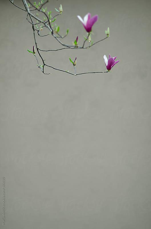 Pink magnolia blossom by Marija Anicic for Stocksy United