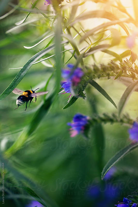 Bumblebee flyes towards shrub in blossom by Laura Stolfi for Stocksy United