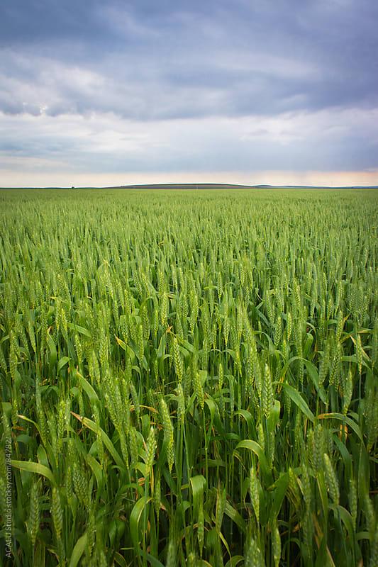 Wheat field in winter by ACALU Studio for Stocksy United