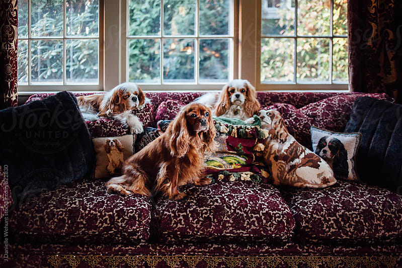 Three Cavalier King Charles Spaniels sitting on sofa in front of window. by J Danielle Wehunt for Stocksy United