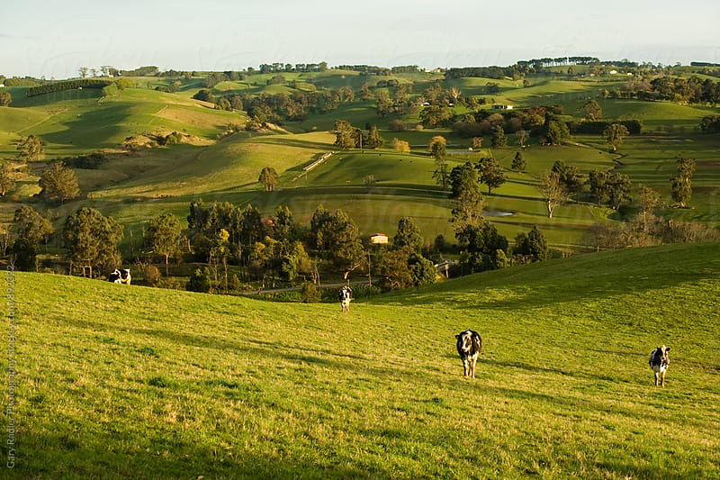 Cows on Rolling Hills, South Gippsland, Australia by Gary Radler Photography for Stocksy United