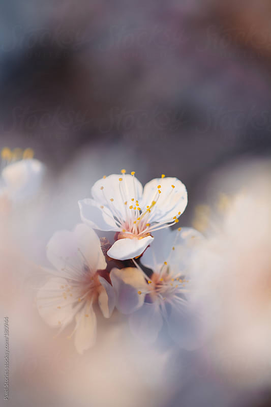 Spring blossom by Pixel Stories for Stocksy United