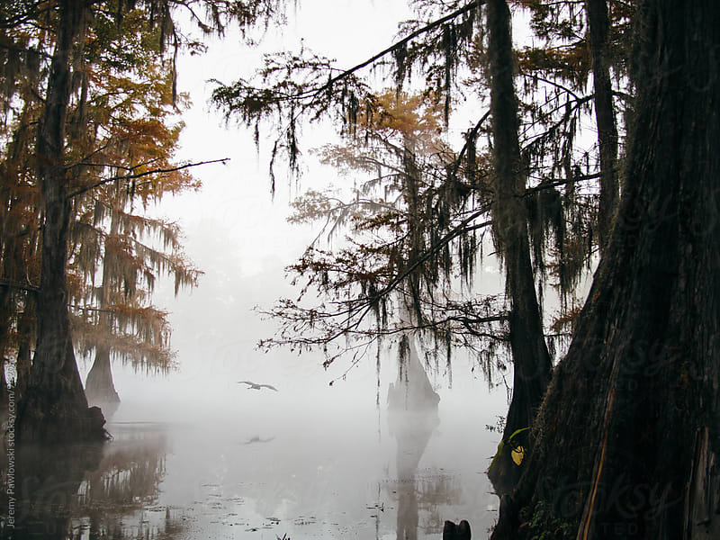 Fog cloaked swamp. Bird flying through cypress trees on the bayou. by Jeremy Pawlowski for Stocksy United