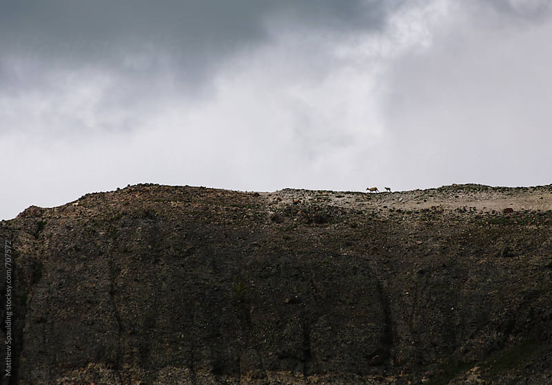 Bighorn sheep mother and calf walking on distant mountain ridge by Matthew Spaulding for Stocksy United