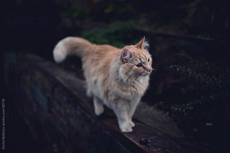 Orange cat inspects territory by Rachel Bellinsky for Stocksy United