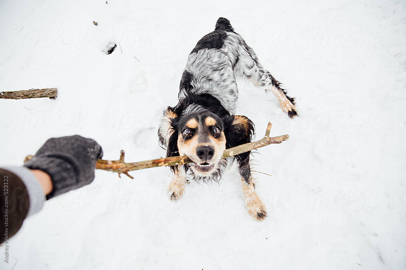 Young cocker spaniel with stick by Andrey Pavlov for Stocksy United