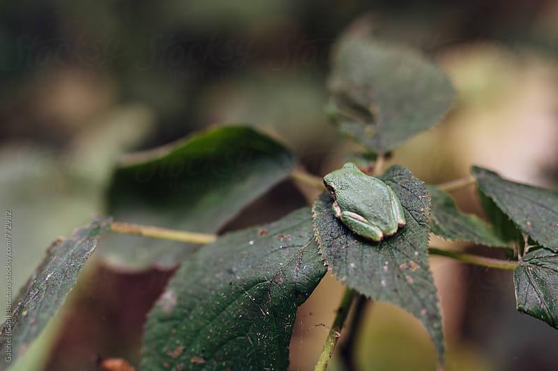 Green frog sitting on a leaf by Gabriel (Gabi) Bucataru for Stocksy United