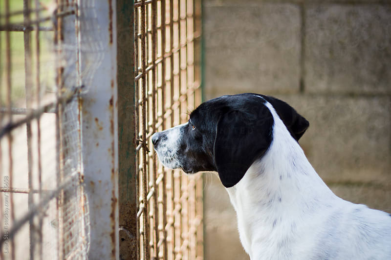 Stray dog longing for an home behind a fence at dog pound by Laura Stolfi for Stocksy United