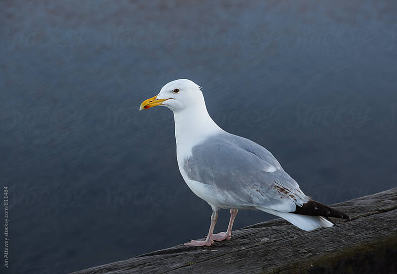 Seagull overlooking the sea by Jon Attaway for Stocksy United